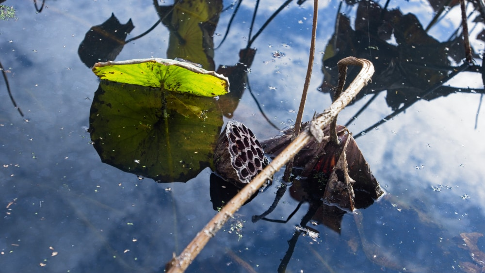 Memory of a lotus fruit
